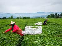 افزایش قدرالسهم کارخانههای چای از بهای برگ سبز/ خرید حدود ۱۳هزار تن برگ سبز چای تا امروز