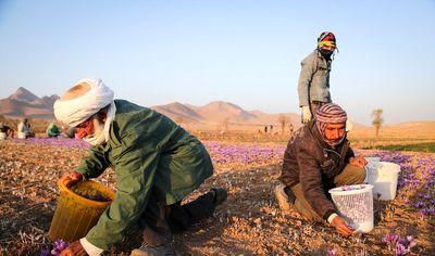 سهم ایران در تجارت زعفران چشمگیر نیست