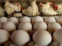 تعیین حقوق ورودی تخم مرغ ۴درصد