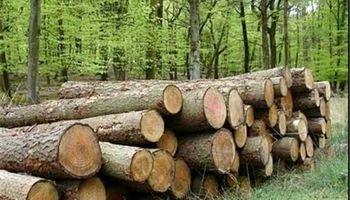 روایتی تلخ از قاچاق چوب در جنگلهای طارم