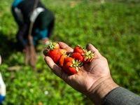 برداشت ملکه میوهها از مزارع کردستان +تصاویر