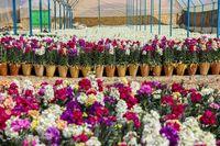 قیمت گل در ایام نوروز اعلام شد