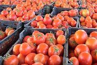 توزیع گوجه فرنگی با قیمت کیلویی ۱۱هزار تومان