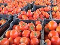 ۲۴۰هزار تن گوجه فرنگی از کشاورزان خریداری شد
