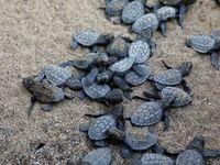 تخمگذاری دستجمعی لاکپشتها در ساحل ترکیه +تصاویر