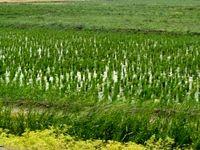 توقف کشت برنج در استان های غیر شمالی 3تا 5سال آینده