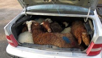 قاچاق ۱۳راس گوسفند در داخل یک سمند