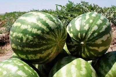 هندوانه شب یلدا مهیاست/ تولید ۱۳۷هزار تُن هندوانه پاییزه