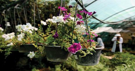 چرا هلند بهترین تولیدکننده گل است؟