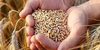 دولت راه رفته درباره مرغ را برای گندم تکرار نکند!
