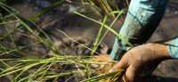 کشت برنج در شالیزارهای ایذه +تصاویر