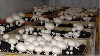 زیان 40درصدی تولیدکنندگان قارچ