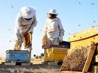 برداشت عسل در اراک +تصاویر