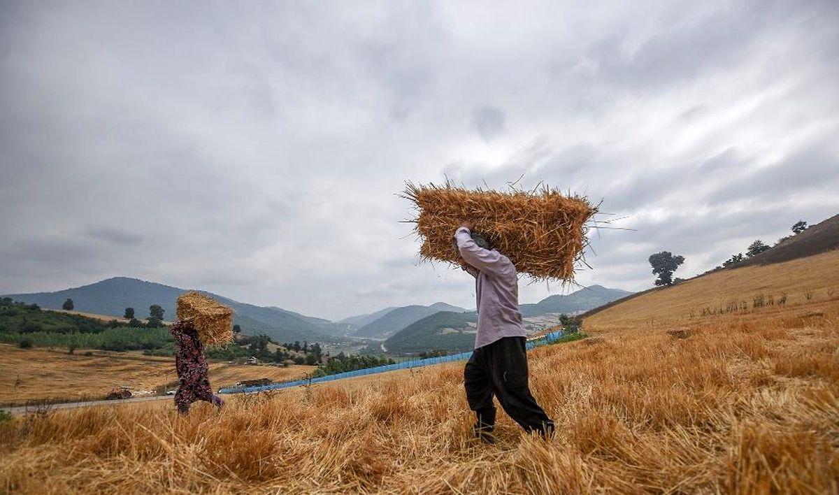 بیش از ۲هزار تن گندم در فردیس برداشت می شود