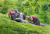 کاهش ۱۰۰میلیون دلاری واردات چای