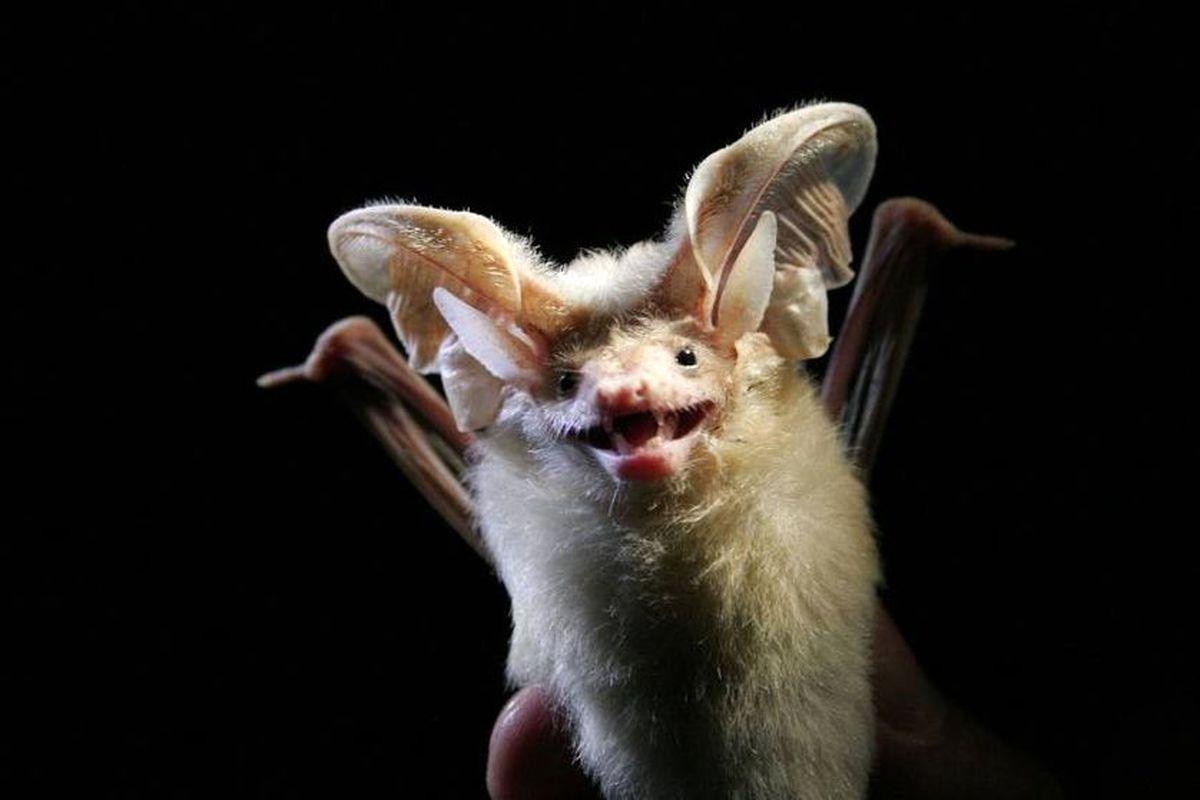 کشف نوعی جدید از ویروس کرونا در خفاش ها