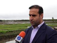 ۱۷۰ میلیارد ریال غرامت برنج در استان مازندران پرداخت شد