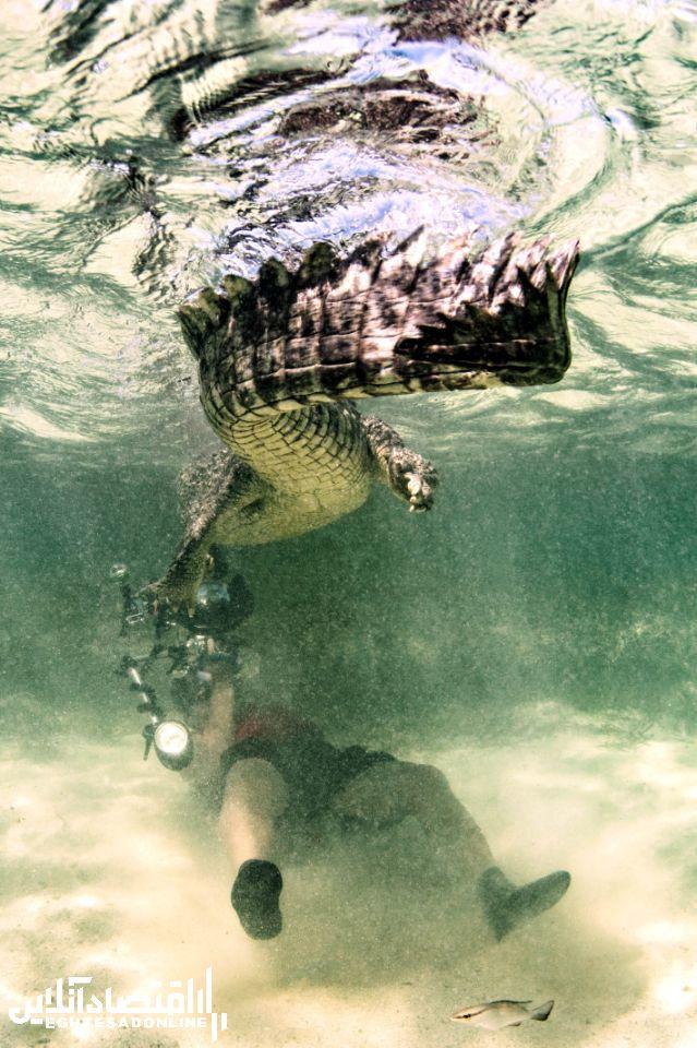تصاویری منحصربهفرد از خطرناکترین تمساحها