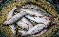 دلالان، بازار ماهی تهران را به هم ریختند