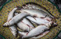 ایران در صدر تولید اما در قعر مصرف ماهی