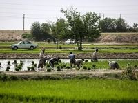 کشاورزان برای بیمه کردن محصولشان تا 15تیر فرصت دارند