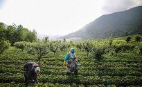 برداشت توت فرنگی در روستای سفید چشمه +عکس