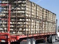 کشف دو هزار و ۵۰۰ مرغ قاچاق در نیکشهر