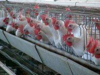فرسودگی ۵۰درصد واحدهای تخمگذار کشور