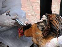 آغاز واردات ۱۰ میلیون دز واکسن آنفلوآنزای پرندگان