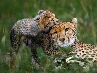 بازی توله یوزپلنگ با مادرش در عکس روز نشنال جئوگرافیک +عکس