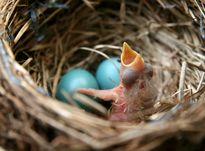 پرندهای منحصربفرد با تخم فیروزهای +عکس
