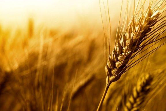 دلالان آتش به خرمن گندمها زدند