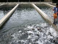 رد انحصار واردات تخم ماهی چشمزده از سوی شیلات