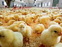 زیان ٧٠٠میلیارد تومانی تولیدکنندگان جوجه