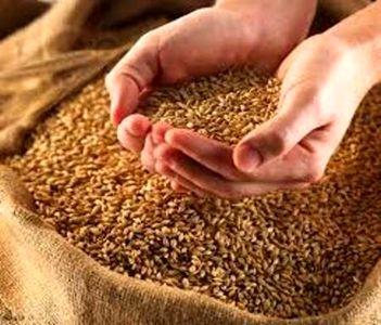 واردات گندم دوروم ممنوع شد