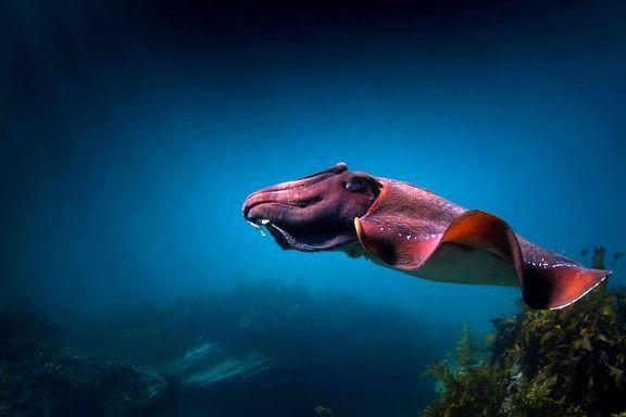رقص ماهی مرکب عکس روز نشنال جئوگرافیک