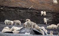 حمله ۲۳۰خرس قطبی به لاشه یک نهنگ +عکس