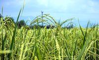 ۲.۵ میلیون تن برنج امسال تولید میشود