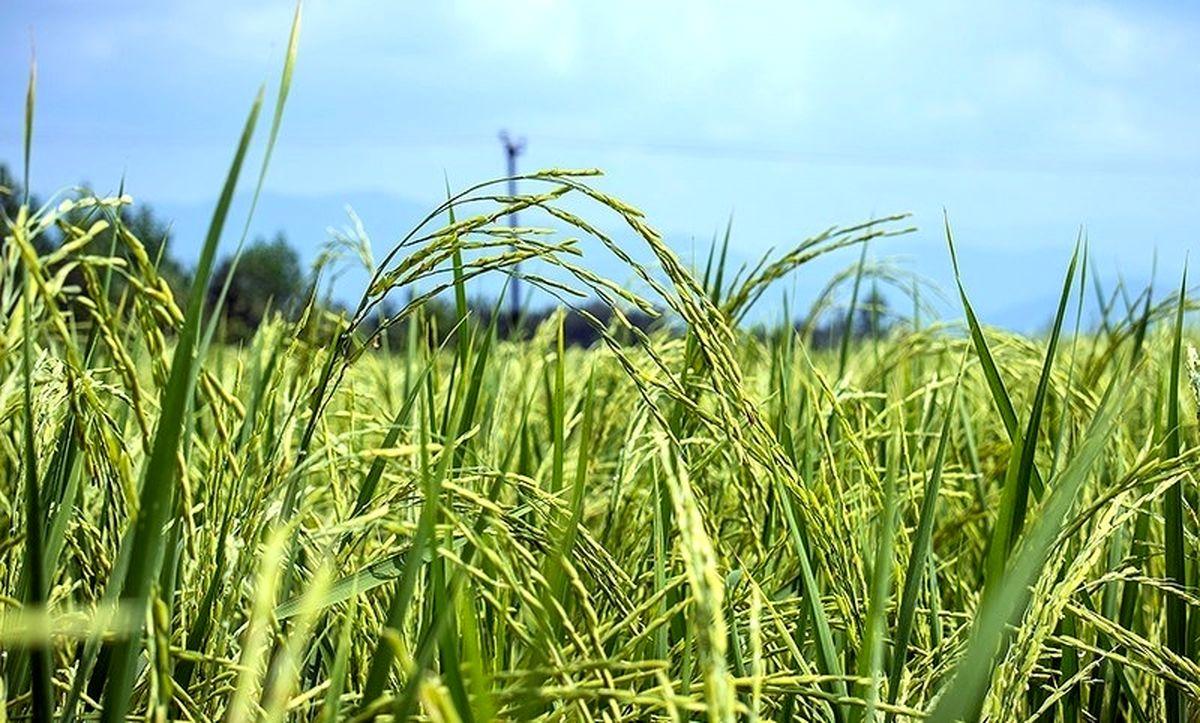 ۱۸درصد؛ کاهش کشت برنج