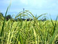 مصوبه محدودیت کشت برنج همچنان پابرجاست