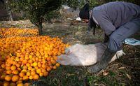 صادرات پرتقال به رودخانه و دریا