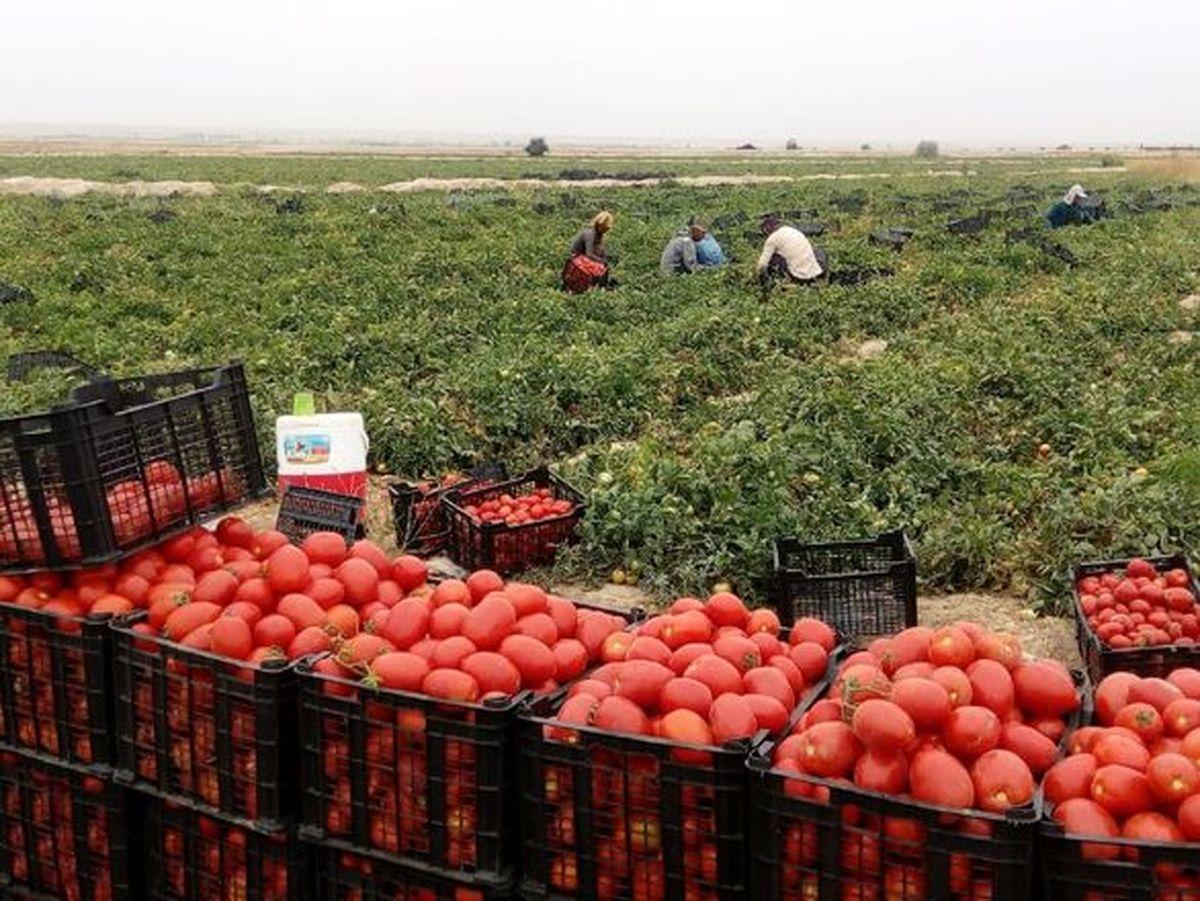 استقبال گوجه کاران از بیمه محصولات کشاورزی افزایش یافت