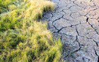 خشکسالی به شالیزارهای برنج رسید +تصاویر