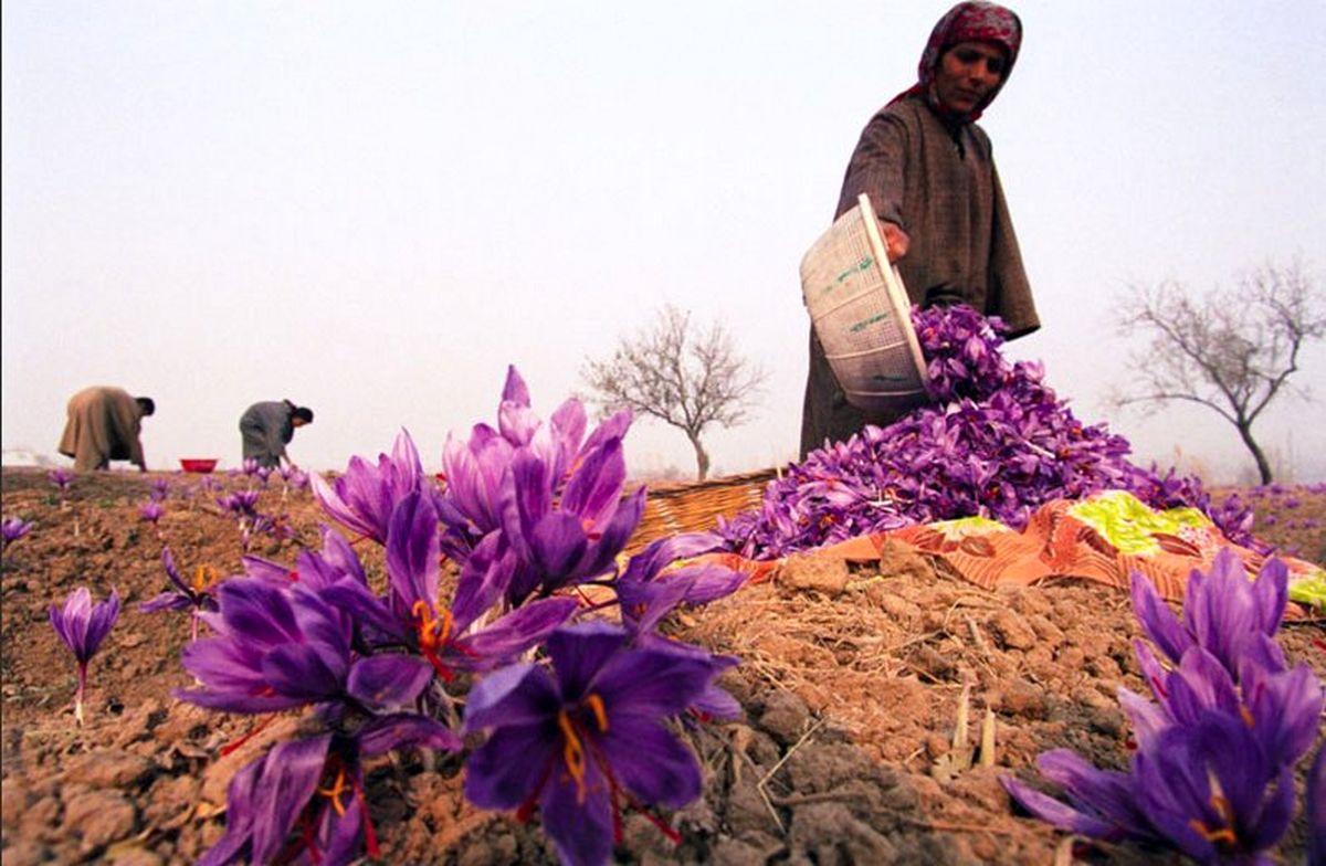 صادرات بیش از 252میلیون دلار زعفران