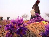 چشمانداز بازار زعفران امیدوارکننده است / برندینگ و ایجاد ارزش افزوده، نکات مورد غفلت در صنعت زعفران