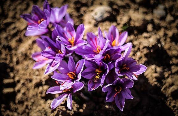 افزایش ١٥درصدی تولید زعفران