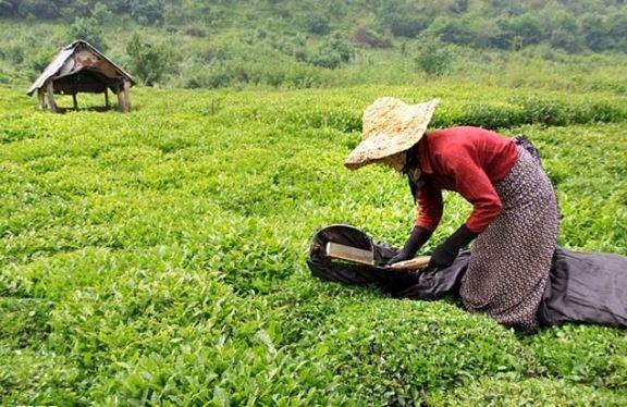 کارخانههای چای 15میلیارد تومان از قدرالسهم خود به چایکاران را پرداخت کردند/ سازمان چای کشور منتظر دریافت بودجه برای پرداخت مطالبات