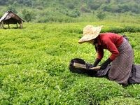 تخصیص بخش سوم اعتبارات خرید برگ سبز چای ابتدای آبان ماه/ 164میلیارد تومان از مطالبات چایکارن پرداخت شد