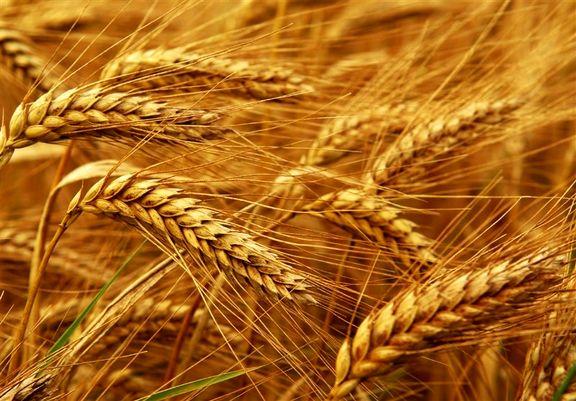 خرید تضمینی ۱۵۰ هزار تن گندم انجام شد