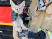 روباه، مهمان خانهای در دیباجی شد! +عکس